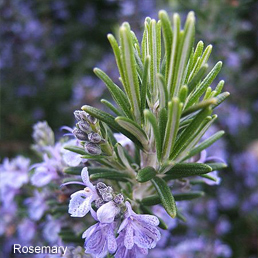Rosemary in Purification Essential Oil Blend